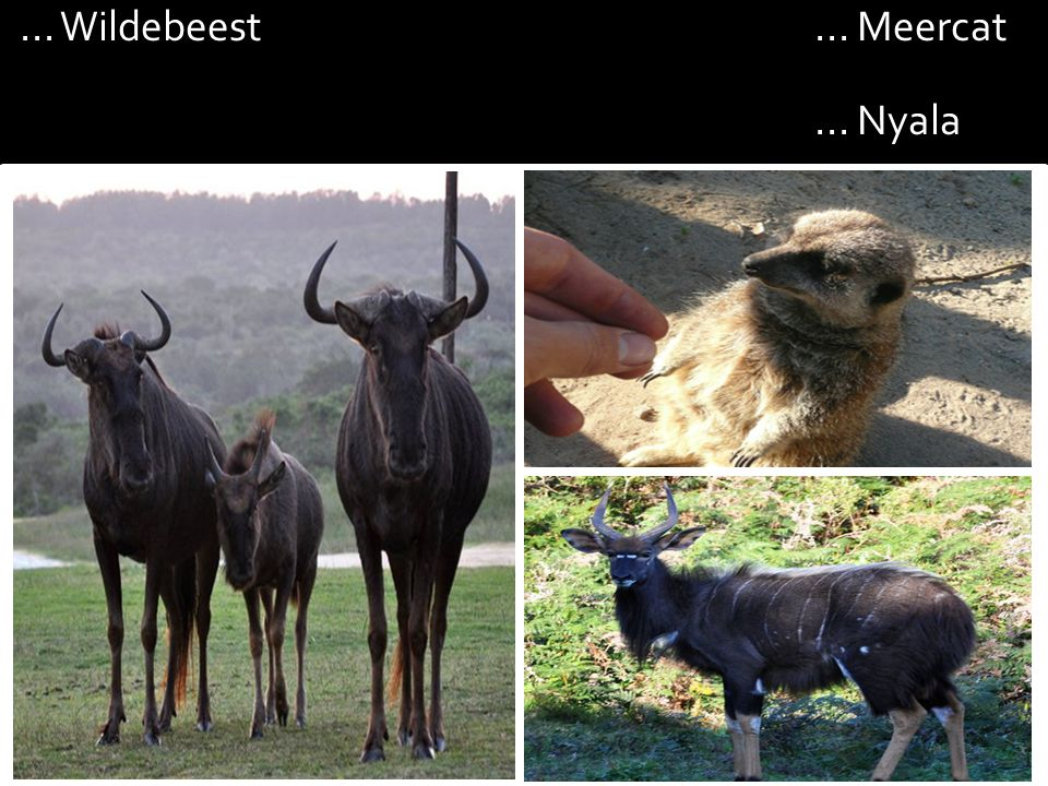 ... Wildebeest... Meercat... Nyala