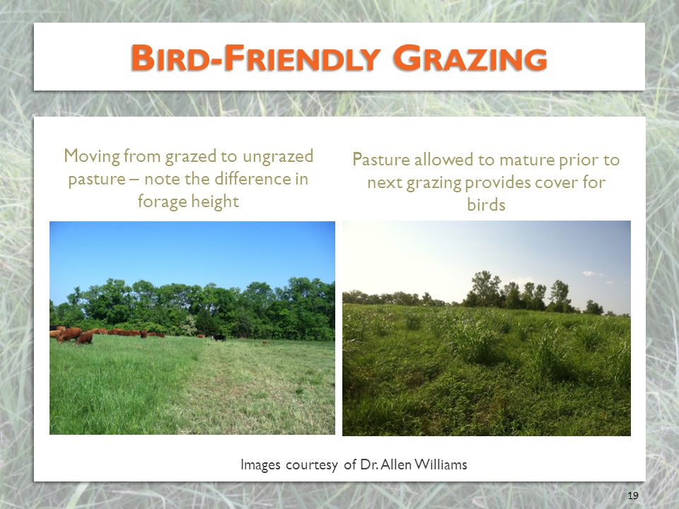 B IRD -F RIENDLY G RAZING 19 Moving from grazed to ungrazed pasture – note the difference in forage height Pasture allowed to mature prior to next grazing provides cover for birds Images courtesy of Dr.