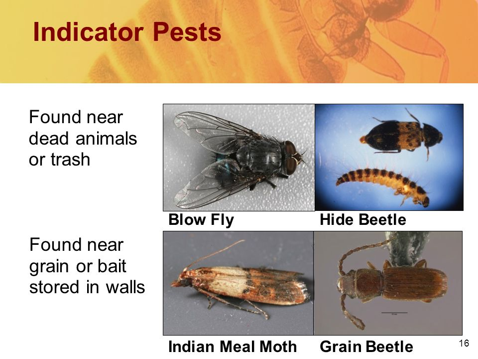 16 Found near grain or bait stored in walls Found near dead animals or trash Indicator Pests Blow FlyHide Beetle Grain BeetleIndian Meal Moth