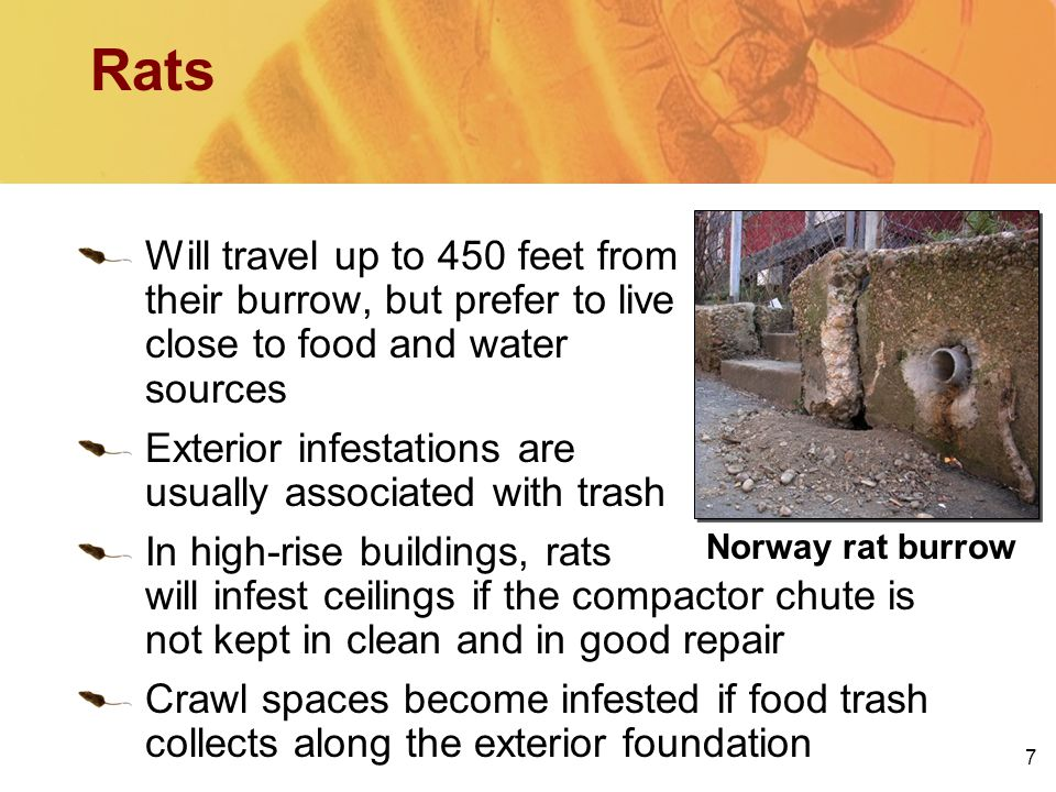 7 Rats Will travel up to 450 feet from their burrow, but prefer to live close to food and water sources Exterior infestations are usually associated w