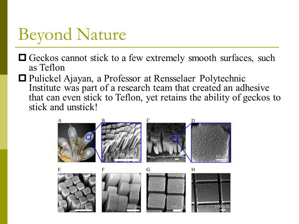 Beyond Nature Geckos cannot stick to a few extremely smooth surfaces, such as Teflon Pulickel Ajayan, a Professor at Rensselaer Polytechnic Institute