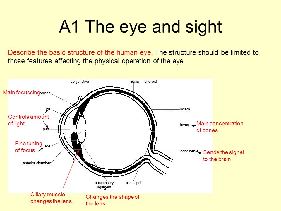 A1 The eye and sight Describe the basic structure of the human eye.