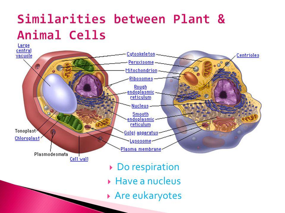 Do respiration Have a nucleus Are eukaryotes