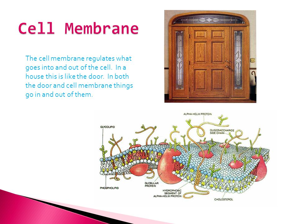 The cell membrane regulates what goes into and out of the cell. In a house this is like the door. In both the door and cell membrane things go in and