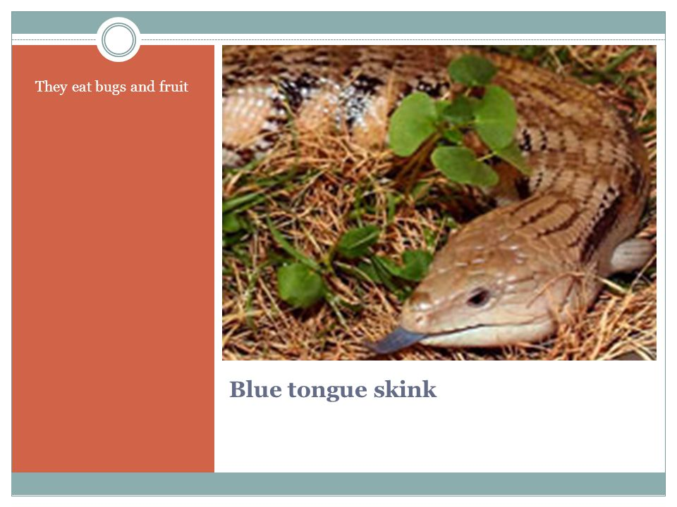 Blue tongue skink They eat bugs and fruit