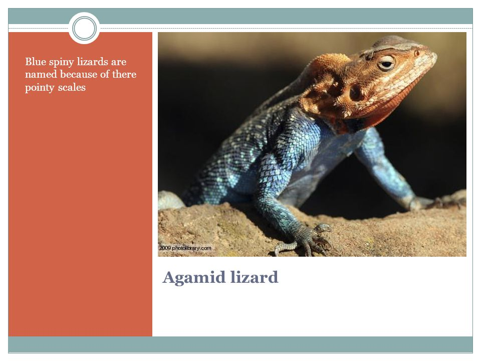 Agamid lizard Blue spiny lizards are named because of there pointy scales