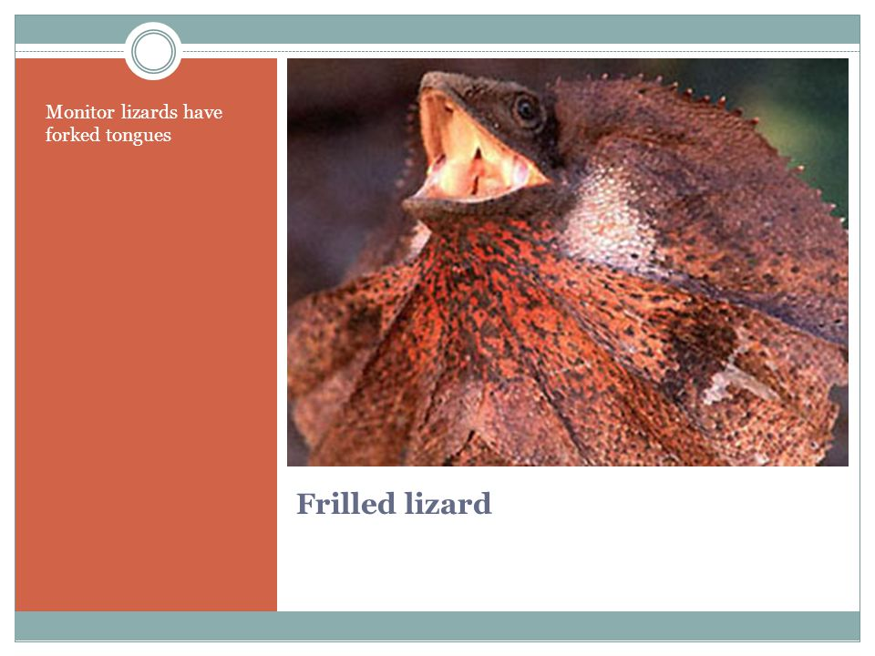 Frilled lizard Monitor lizards have forked tongues