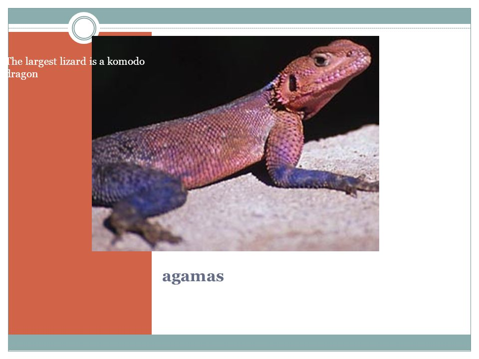 agamas The largest lizard is a komodo dragon