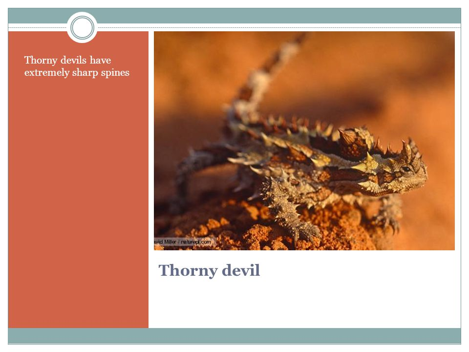 Thorny devil Thorny devils have extremely sharp spines