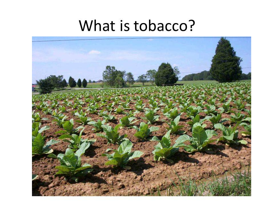 What is tobacco?