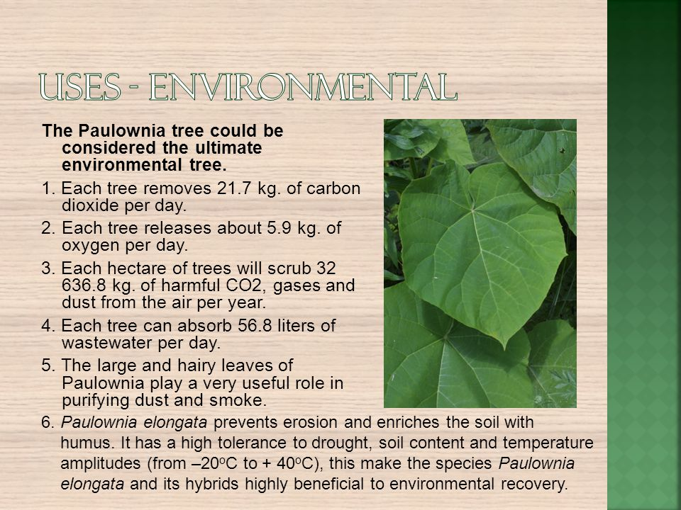 The Paulownia tree could be considered the ultimate environmental tree. 1. Each tree removes 21.7 kg. of carbon dioxide per day. 2.Each tree releases