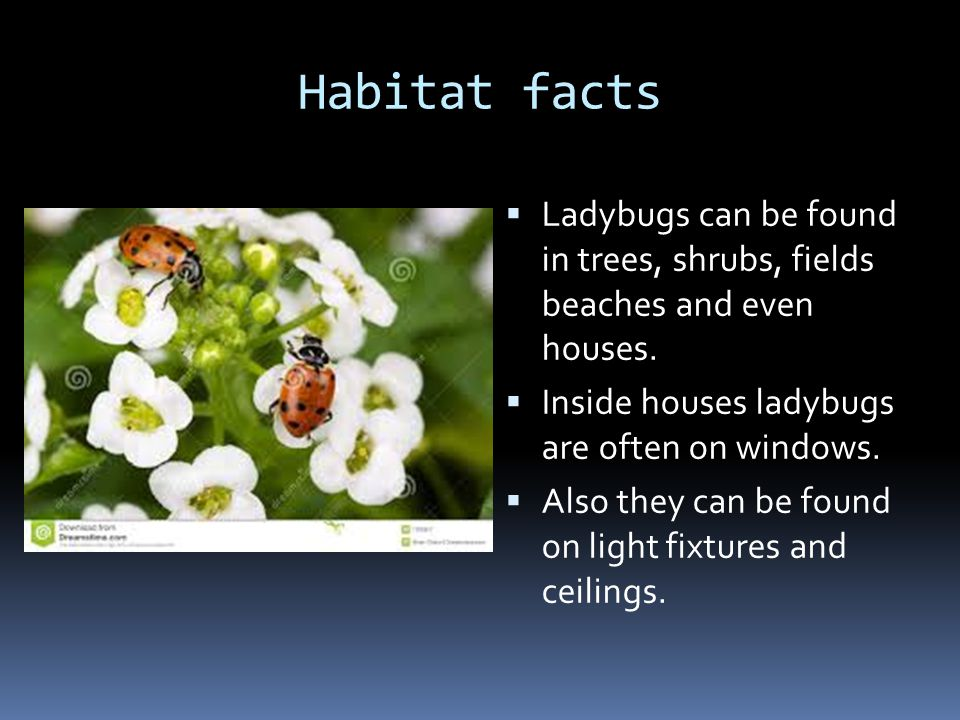 Habitat facts Ladybugs can be found in trees, shrubs, fields beaches and even houses.