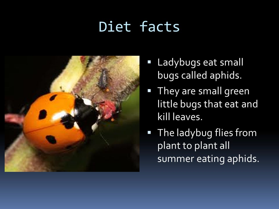 Diet facts Ladybugs eat small bugs called aphids.