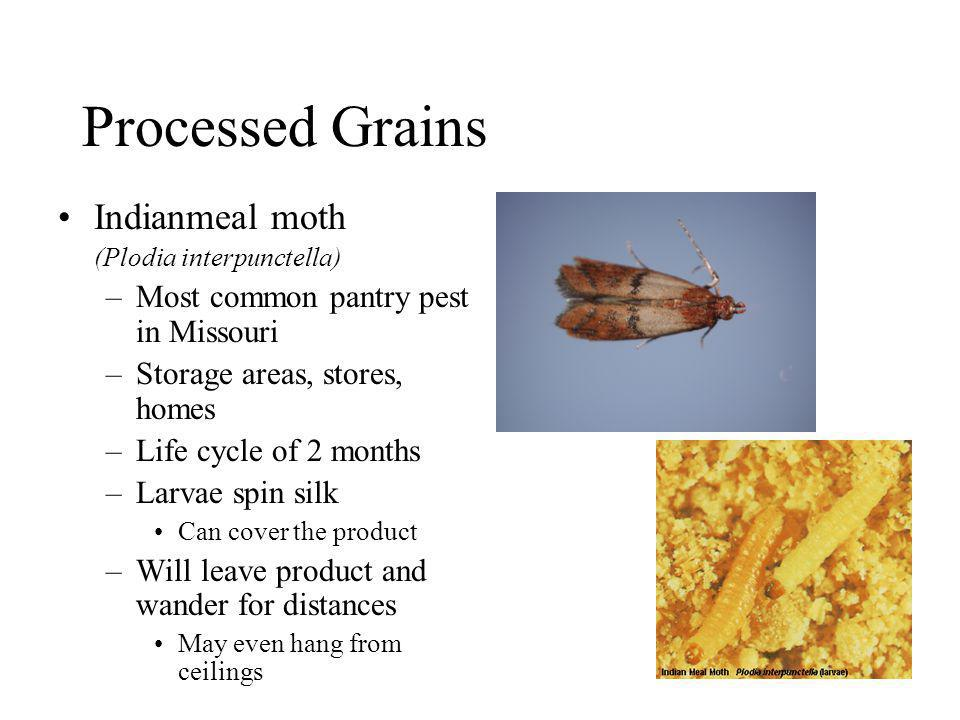 Processed Grains Indianmeal moth (Plodia interpunctella) –Most common pantry pest in Missouri –Storage areas, stores, homes –Life cycle of 2 months –L