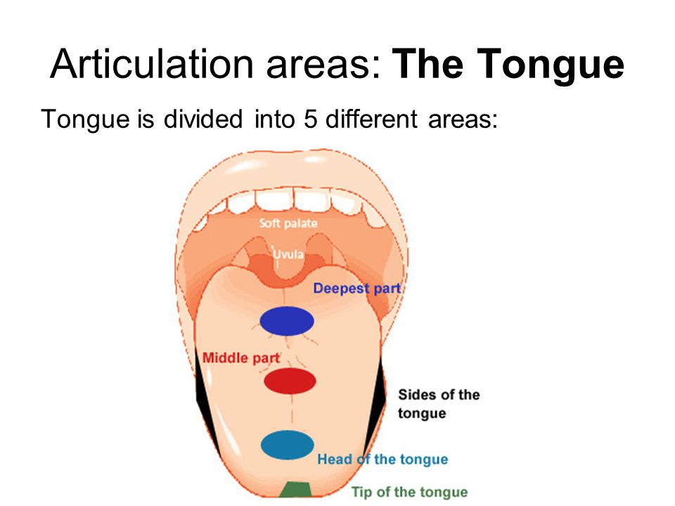 Articulation areas: The Tongue Tongue is divided into 5 different areas: