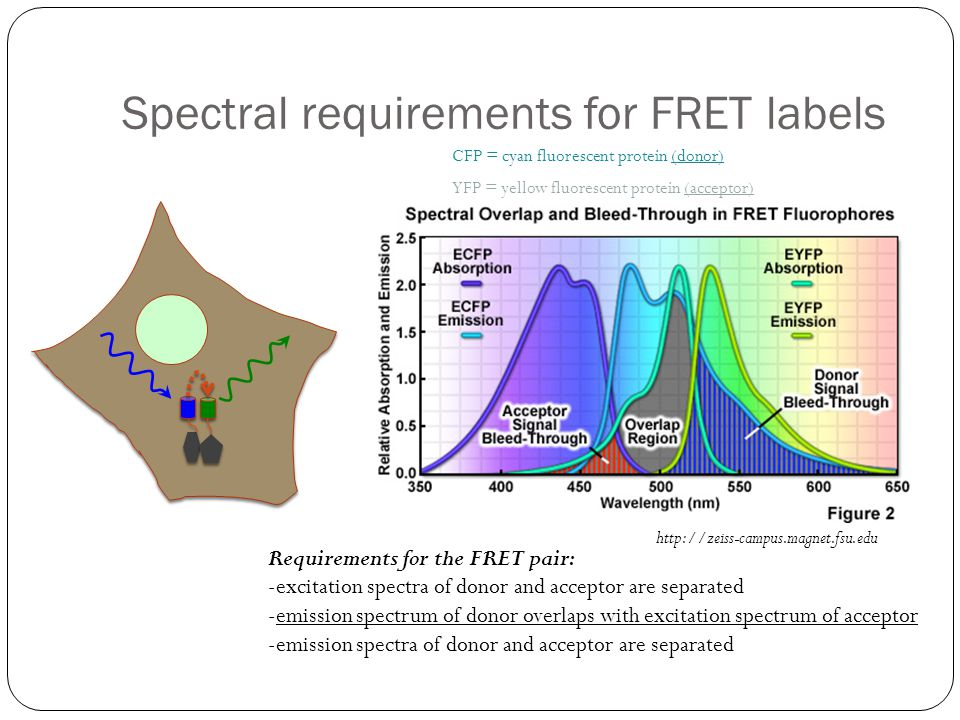 Spectral requirements for FRET labels Requirements for the FRET pair: -excitation spectra of donor and acceptor are separated -emission spectrum of do