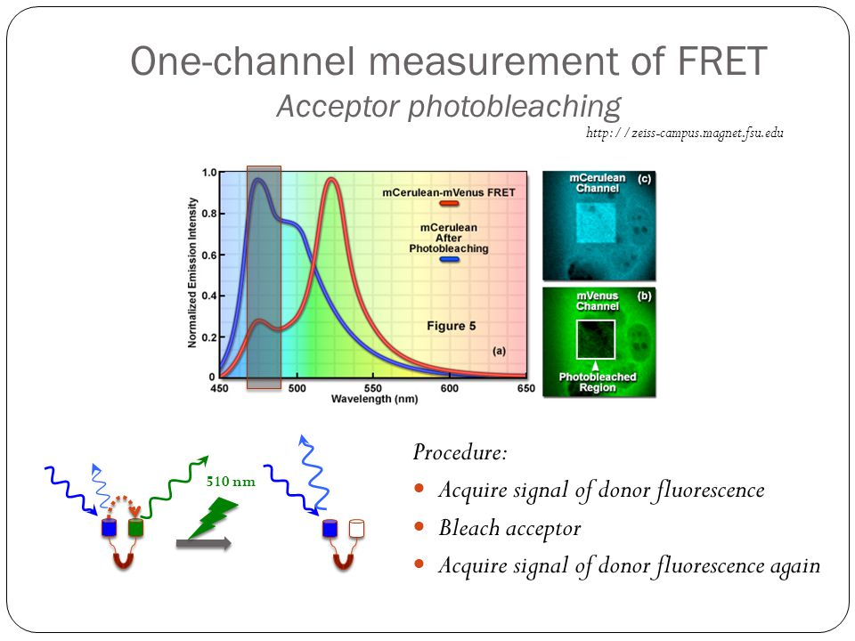 One-channel measurement of FRET Acceptor photobleaching http://zeiss-campus.magnet.fsu.edu Procedure: Acquire signal of donor fluorescence Bleach acce