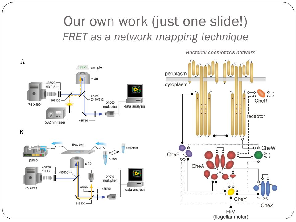 Our own work (just one slide!) FRET as a network mapping technique Bacterial chemotaxis network A B