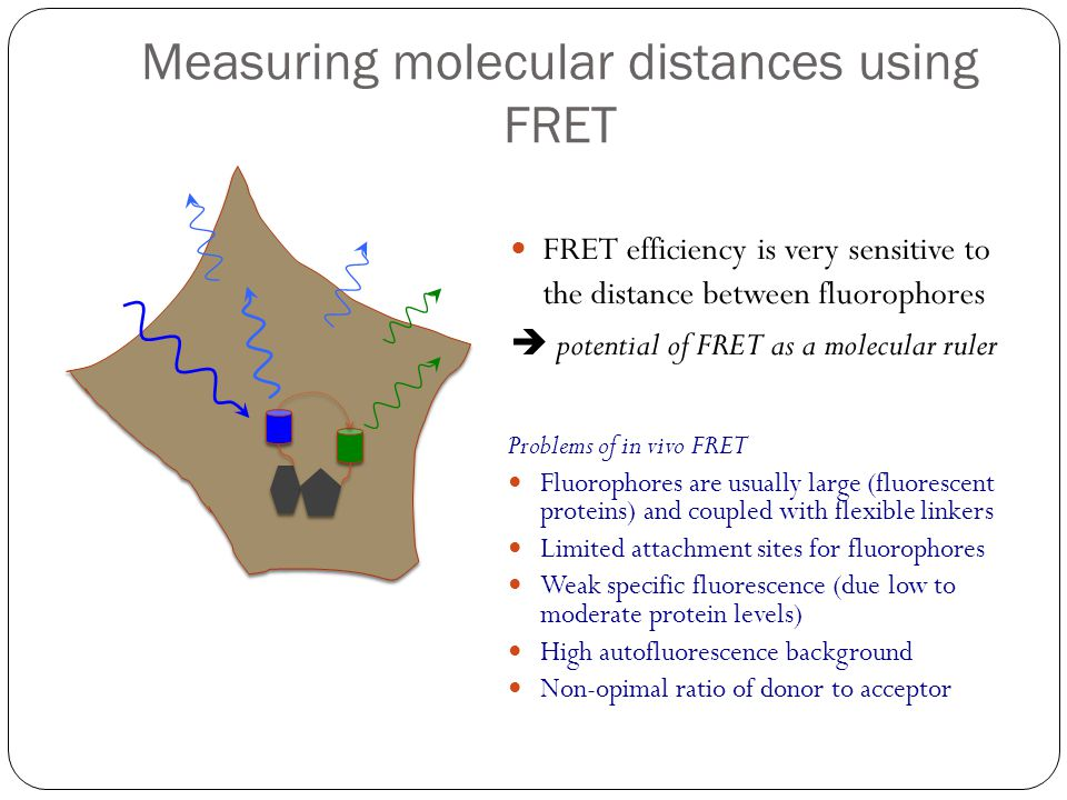 Measuring molecular distances using FRET FRET efficiency is very sensitive to the distance between fluorophores potential of FRET as a molecular ruler