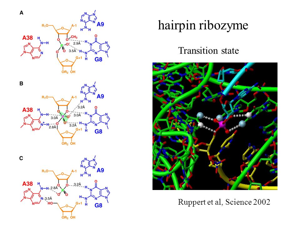 hairpin ribozyme Ruppert et al, Science 2002 Transition state
