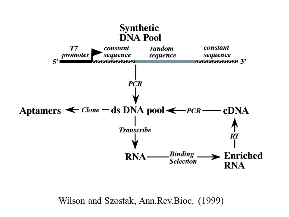 Wilson and Szostak, Ann.Rev.Bioc. (1999)
