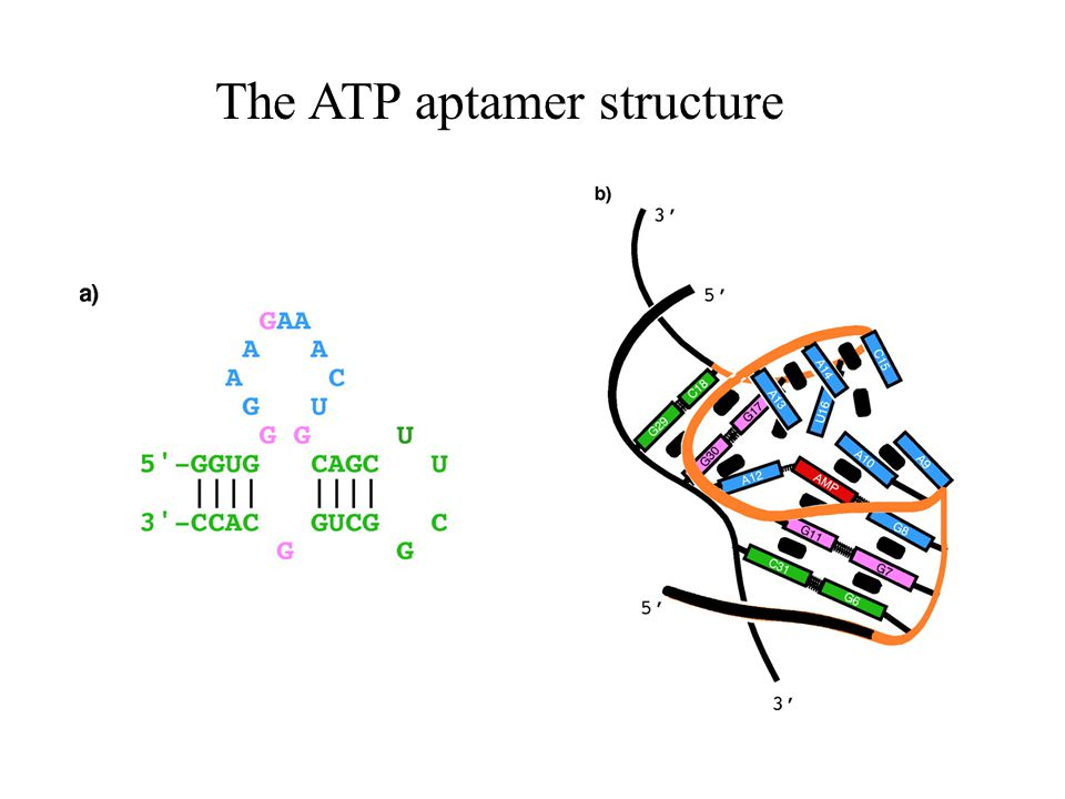 The ATP aptamer structure