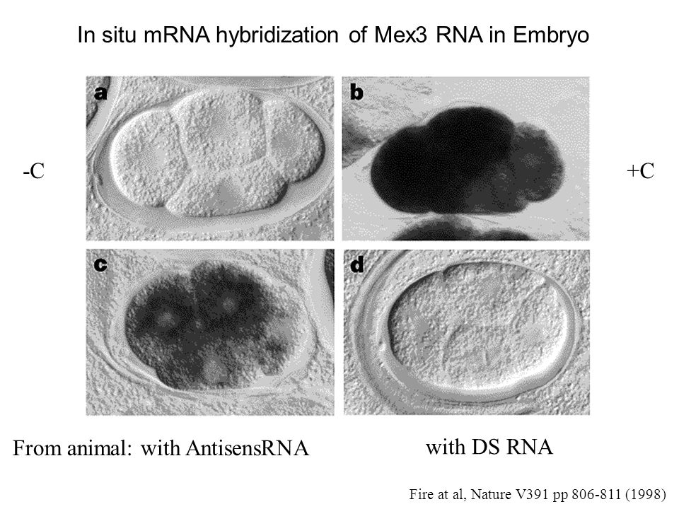 In situ mRNA hybridization of Mex3 RNA in Embryo -C+C From animal: with AntisensRNA with DS RNA Fire at al, Nature V391 pp (1998)