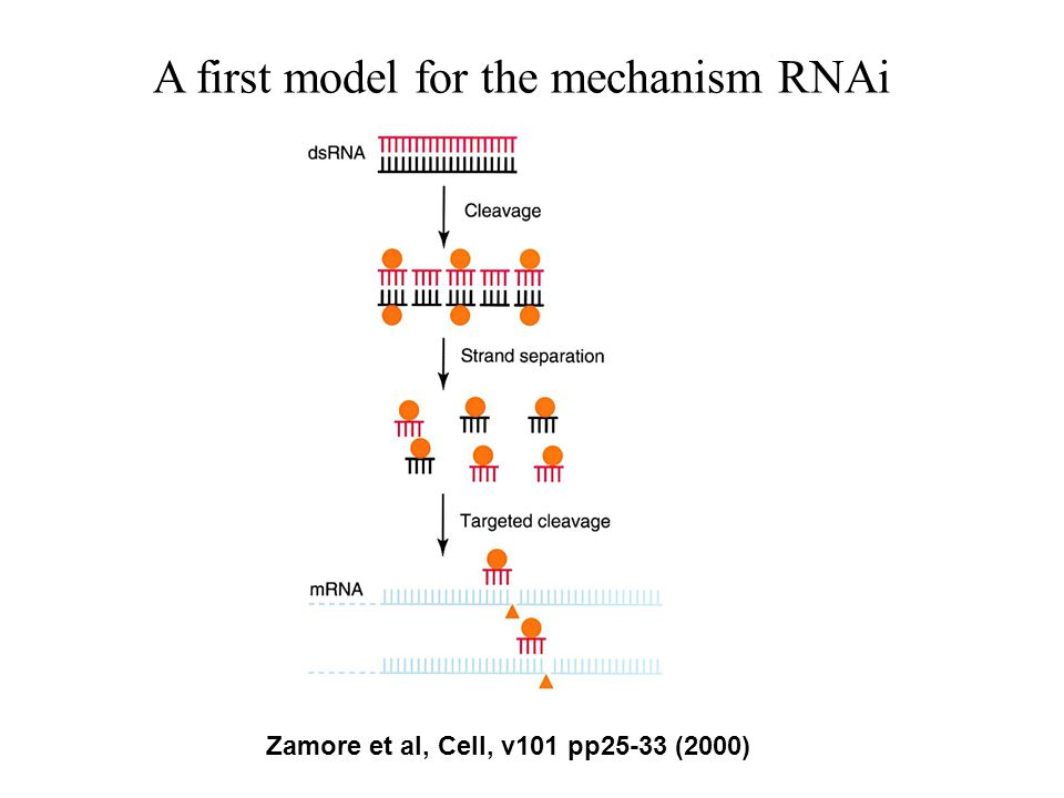 A first model for the mechanism RNAi Zamore et al, Cell, v101 pp25-33 (2000)