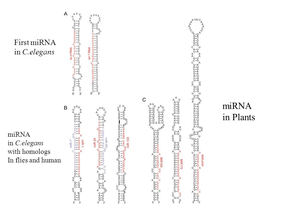 First miRNA in C.elegans miRNA in C.elegans with homologs In flies and human miRNA in Plants