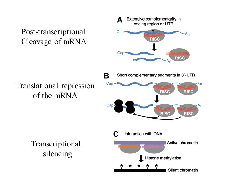 Post-transcriptional Cleavage of mRNA Translational repression of the mRNA Transcriptional silencing