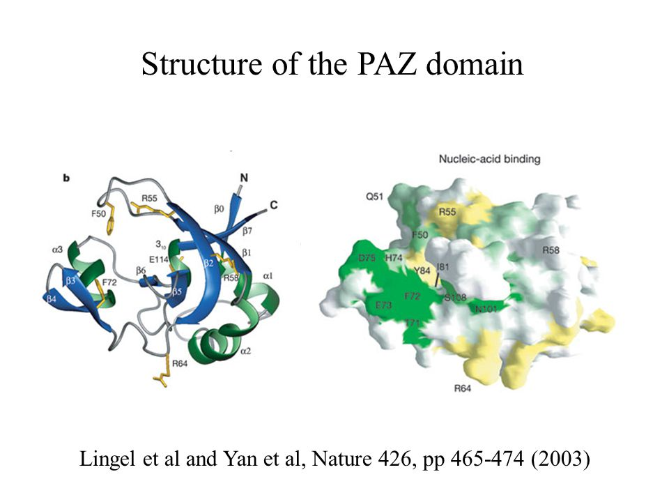 Structure of the PAZ domain Lingel et al and Yan et al, Nature 426, pp (2003)