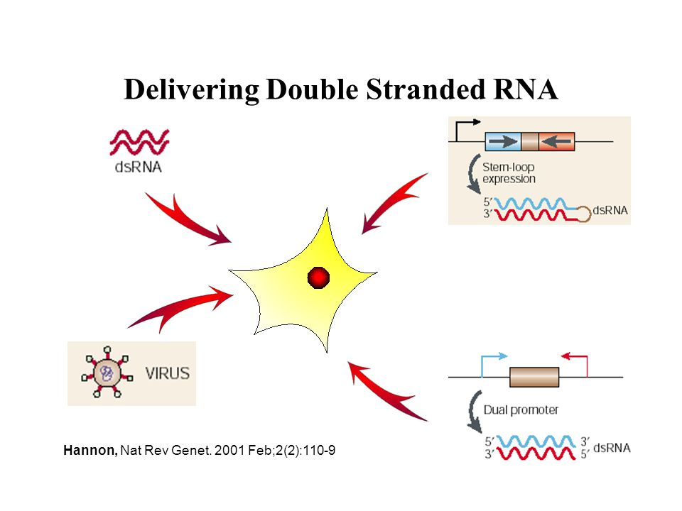Delivering Double Stranded RNA Hannon, Nat Rev Genet. 2001 Feb;2(2):110-9