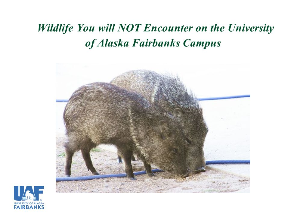 Wildlife You will NOT Encounter on the University of Alaska Fairbanks Campus