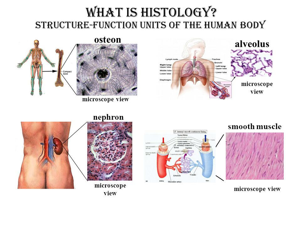 microscope view osteon alveolus microscope view nephron microscope view smooth muscle What is Histology? Structure-Function Units OF THE HUMAN BODY