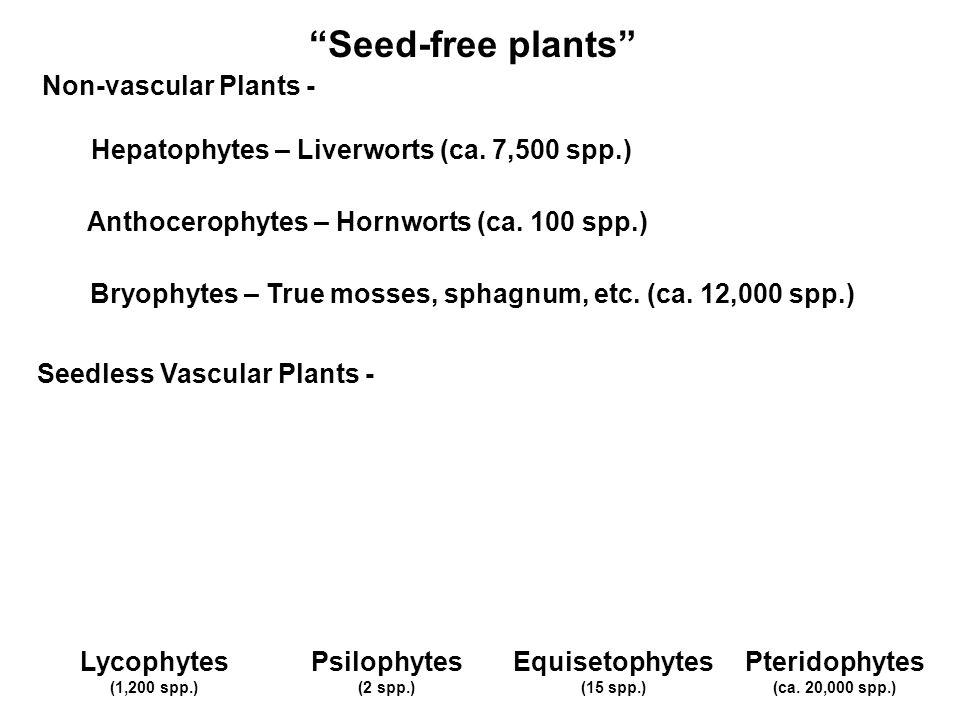Seed-free plants Lycophytes (1,200 spp.) Hepatophytes – Liverworts (ca. 7,500 spp.) Anthocerophytes – Hornworts (ca. 100 spp.) Bryophytes – True mosse