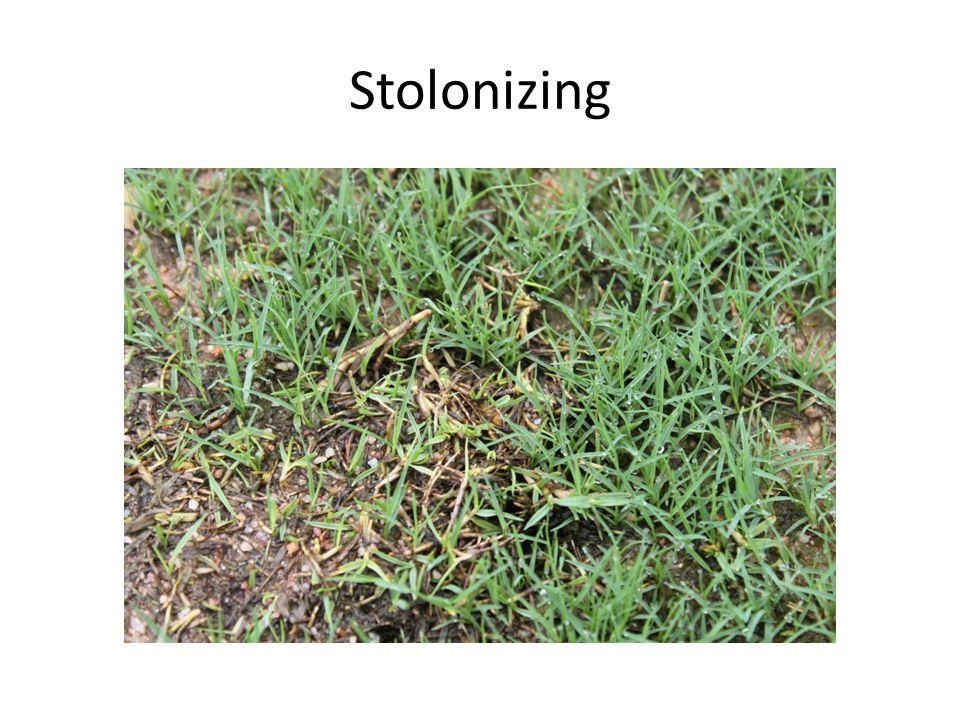 Stolonizing