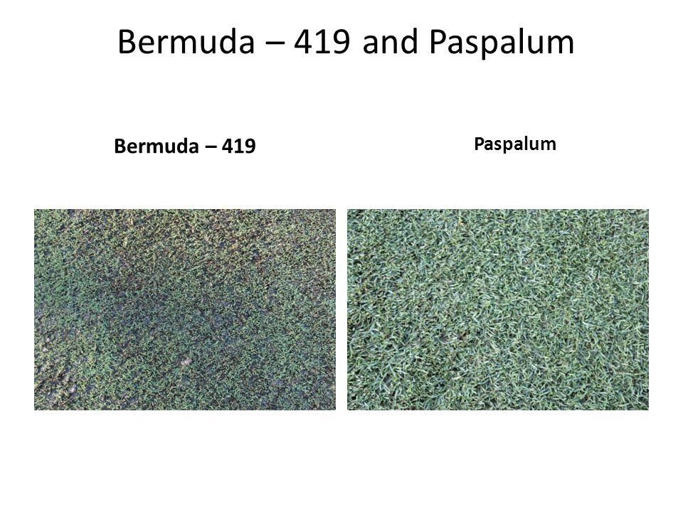 Bermuda – 419 and Paspalum Bermuda – 419 Paspalum