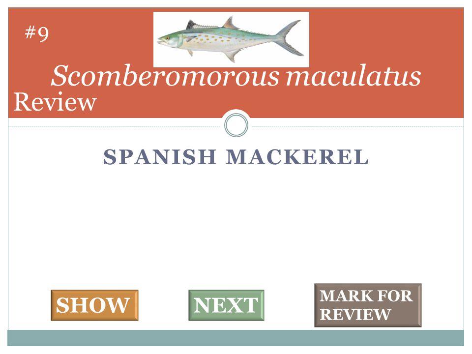 SPANISH MACKEREL Scomberomorous maculatus #9 SHOWNEXT MARK FOR REVIEW Review