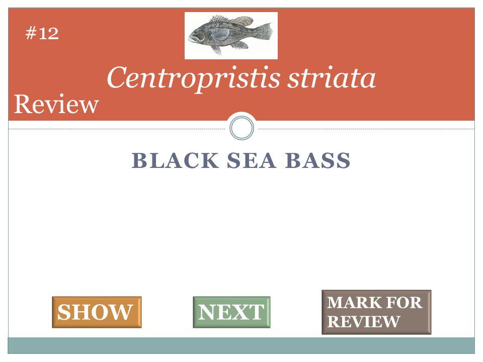BLACK SEA BASS Centropristis striata #12 SHOWNEXT MARK FOR REVIEW Review