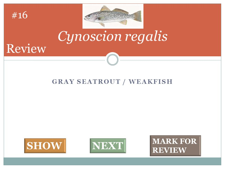GRAY SEATROUT / WEAKFISH Cynoscion regalis #16 SHOWNEXT MARK FOR REVIEW Review