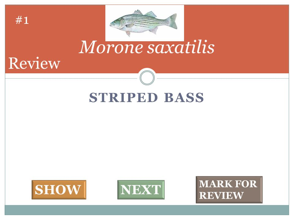 STRIPED BASS Morone saxatilis #1 SHOWNEXT MARK FOR REVIEW Review