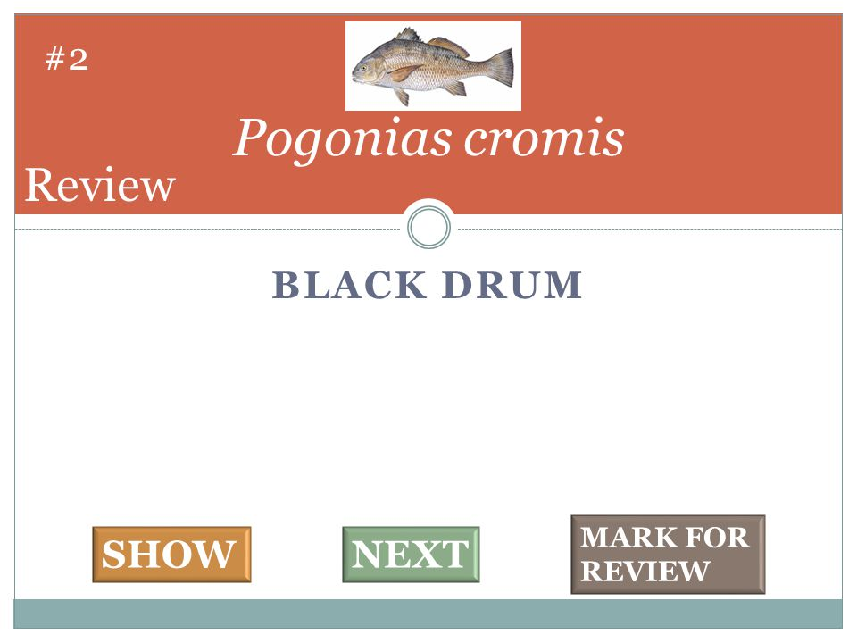 BLACK DRUM Pogonias cromis #2 SHOWNEXT MARK FOR REVIEW Review