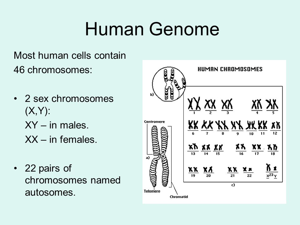 Human Genome Most human cells contain 46 chromosomes: 2 sex chromosomes (X,Y): XY – in males.
