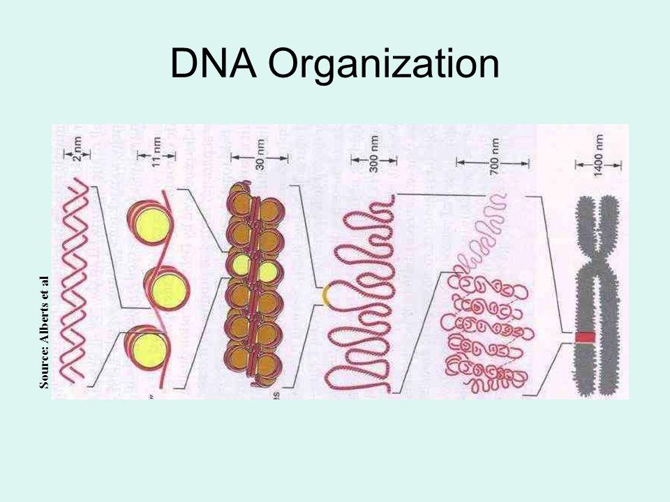DNA Organization Source: Alberts et al