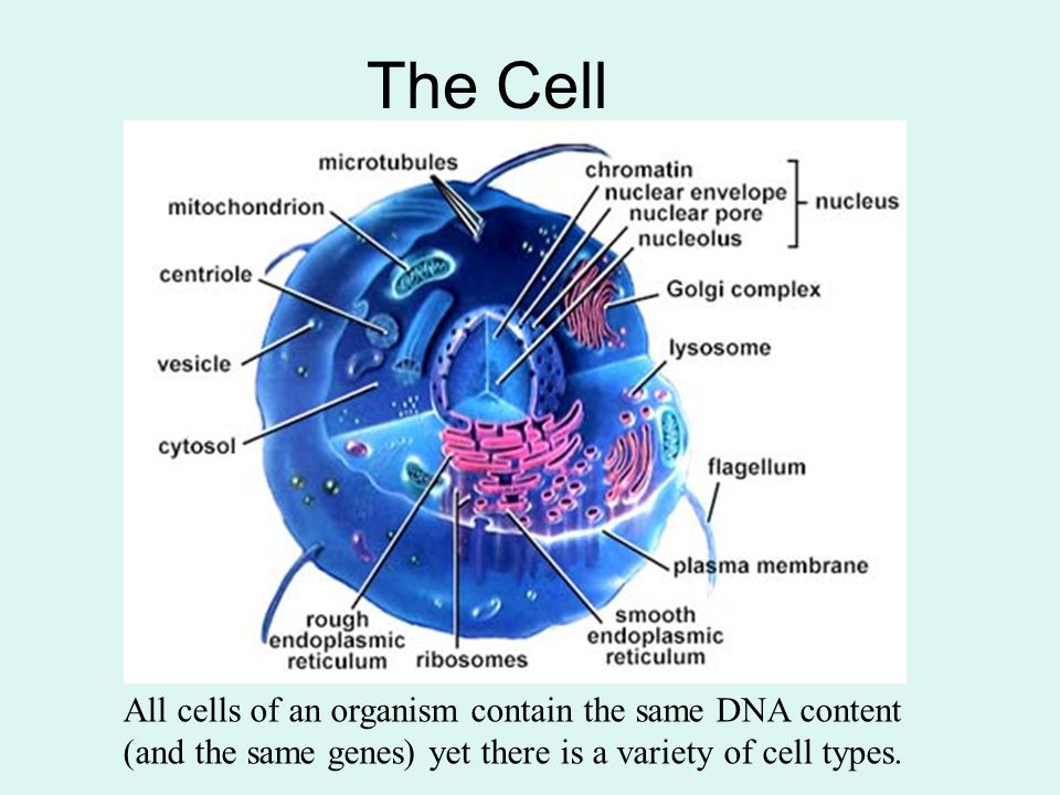 The Cell All cells of an organism contain the same DNA content (and the same genes) yet there is a variety of cell types.