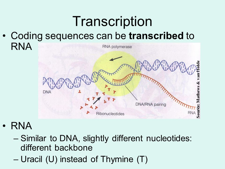 Transcription Coding sequences can be transcribed to RNA RNA –Similar to DNA, slightly different nucleotides: different backbone –Uracil (U) instead of Thymine (T) Source: Mathews & van Holde