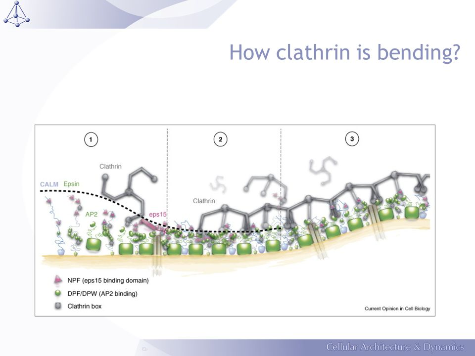 How clathrin is bending?