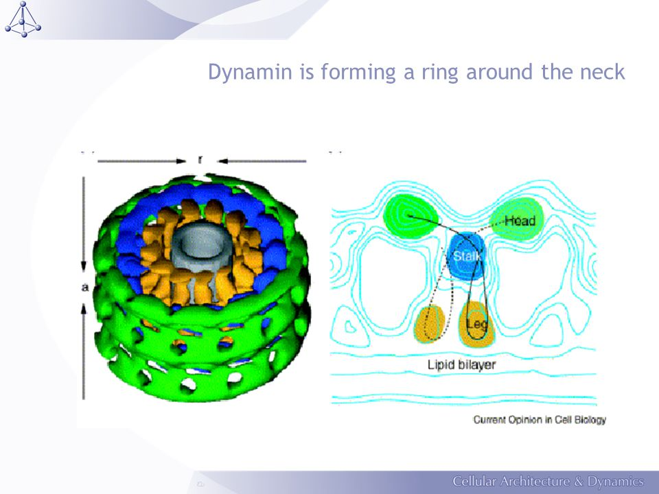 Dynamin is forming a ring around the neck