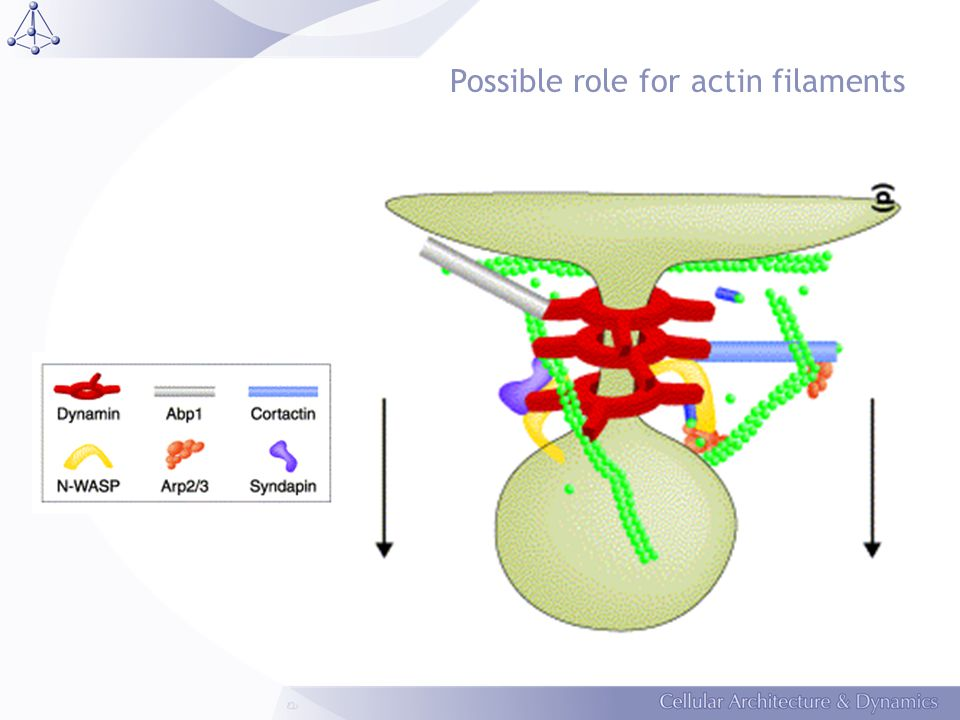 Possible role for actin filaments