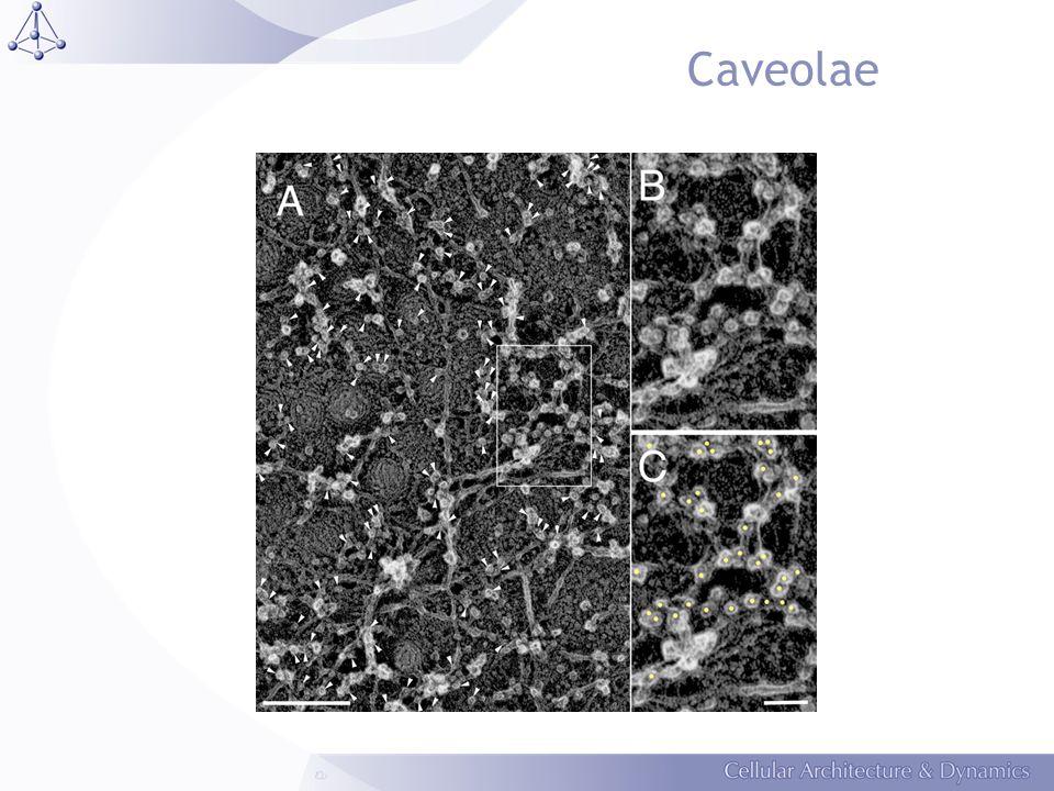 Caveolae